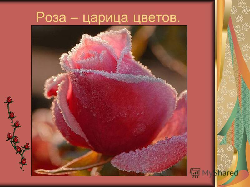 Роза – царица цветов.