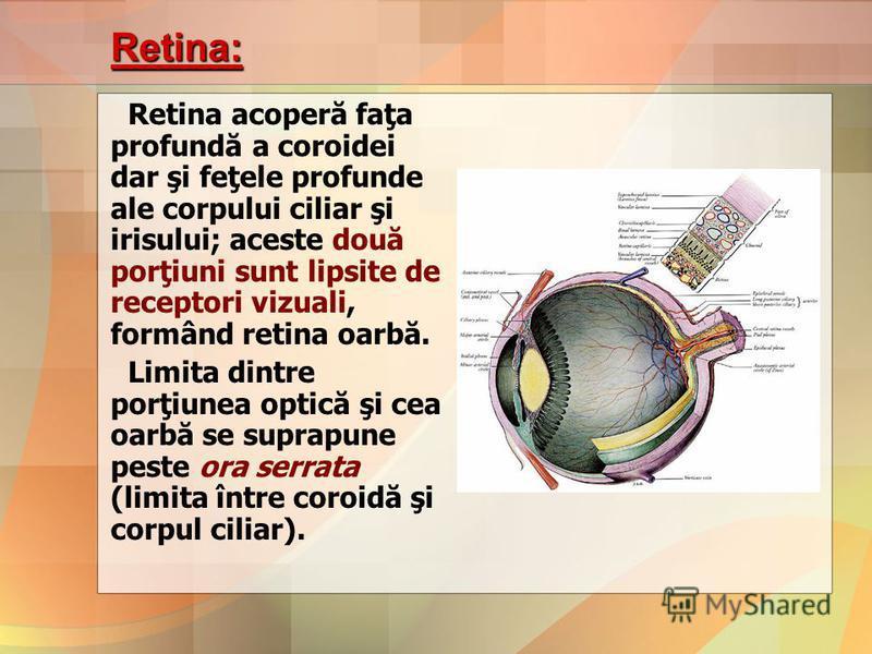 Retina: Retina acoperă faţa profundă a coroidei dar şi feţele profunde ale corpului ciliar şi irisului; aceste două porţiuni sunt lipsite de receptori vizuali, formând retina oarbă. Limita dintre porţiunea optică şi cea oarbă se suprapune peste ora s