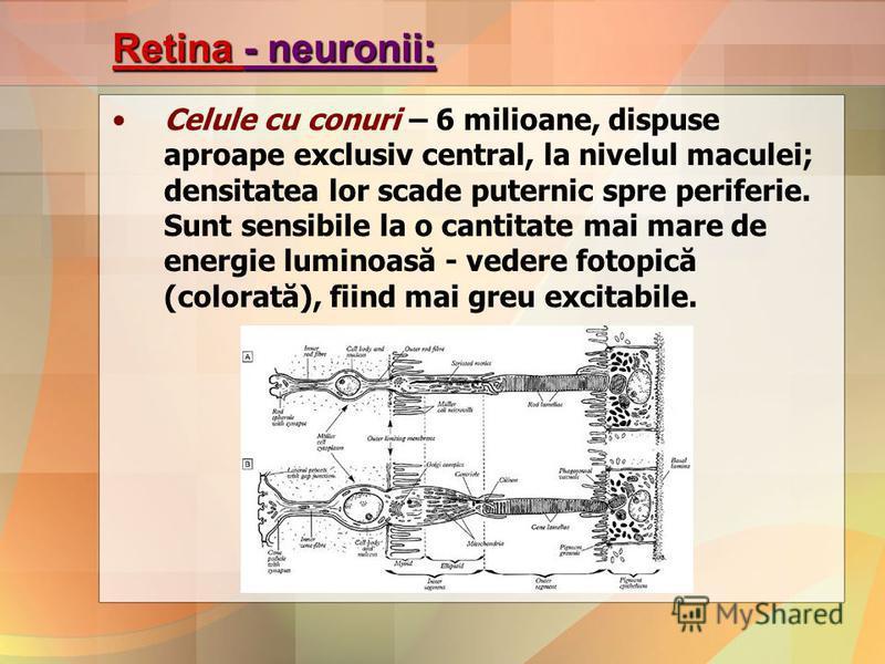 Retina - neuronii: Celule cu conuri – 6 milioane, dispuse aproape exclusiv central, la nivelul maculei; densitatea lor scade puternic spre periferie. Sunt sensibile la o cantitate mai mare de energie luminoasă - vedere fotopică (colorată), fiind mai