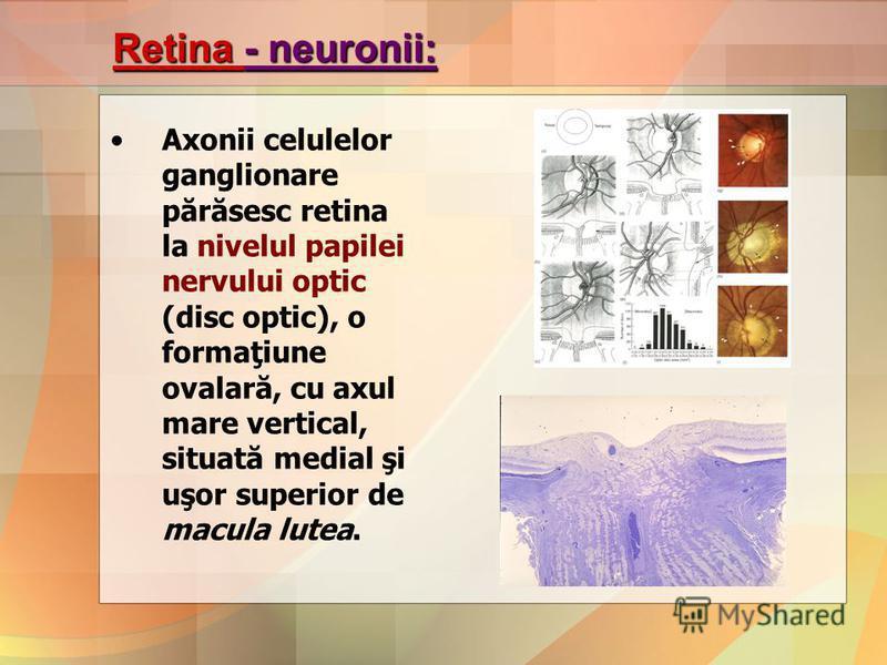 Retina - neuronii: Axonii celulelor ganglionare părăsesc retina la nivelul papilei nervului optic (disc optic), o formaţiune ovalară, cu axul mare vertical, situată medial şi uşor superior de macula lutea.