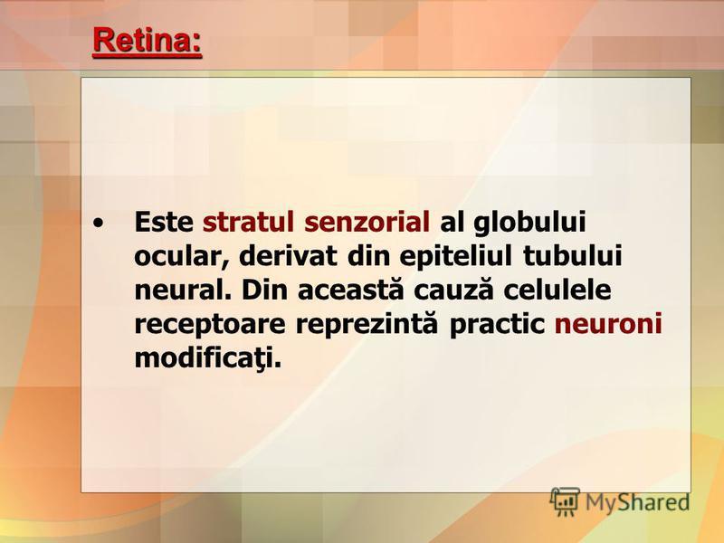 Retina: Este stratul senzorial al globului ocular, derivat din epiteliul tubului neural. Din această cauză celulele receptoare reprezintă practic neuroni modificaţi.