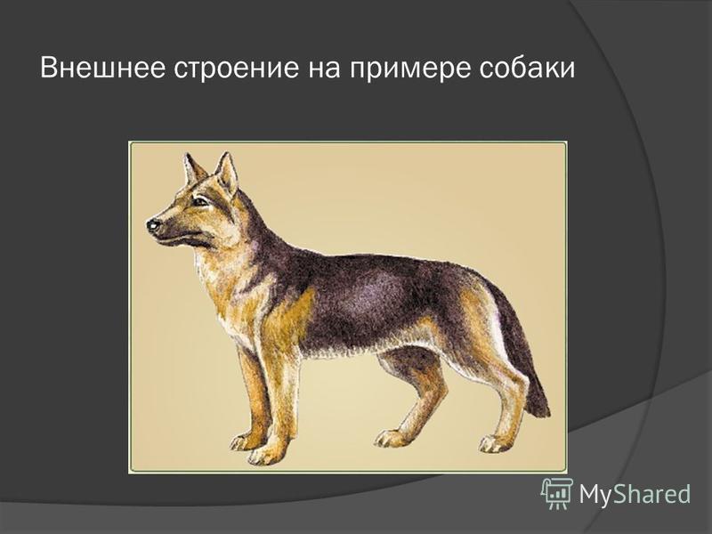 Внешнее строение на примере собаки
