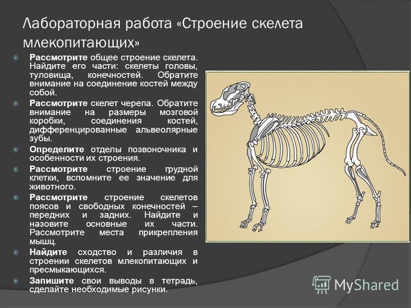 Лабораторная работа «Строение скелета млекопитающих» Рассмотрите общее строение скелета. Найдите его части: скелеты головы, туловища, конечностей. Обратите внимание на соединение костей между собой. Рассмотрите скелет черепа. Обратите внимание на раз