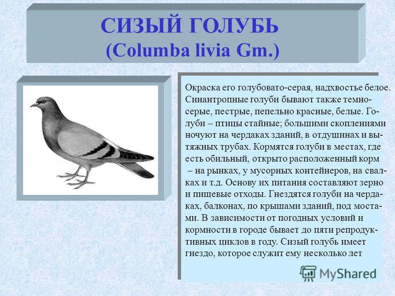 СИЗЫЙ ГОЛУБЬ (Columba livia Gm.) Окраска его голубовато-серая, надхвостье белое. Синантропные голуби бывают также темно- серые, пестрые, пепельно красные, белые. Го- луби – птицы стайные; большими скоплениями ночуют на чердаках зданий, в отдушинах и