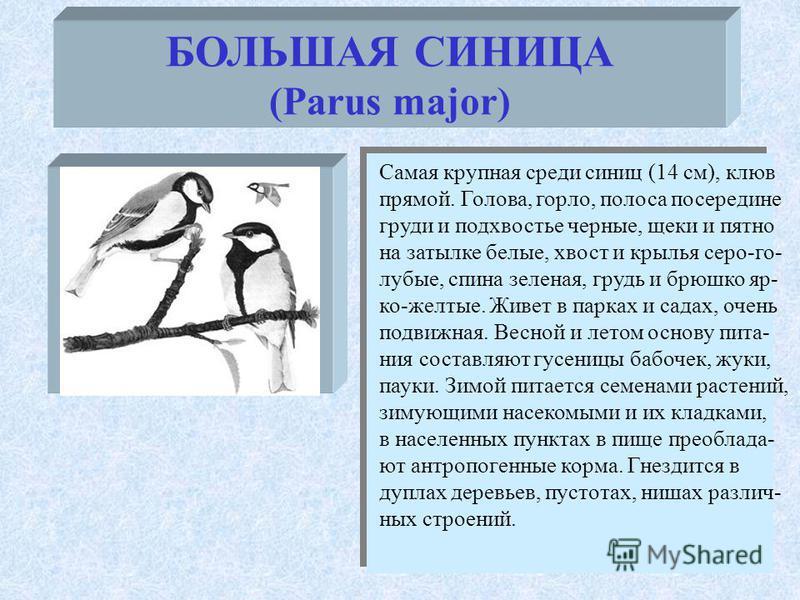 БОЛЬШАЯ СИНИЦА (Parus major) Самая крупная среди синиц (14 см), клюв прямой. Голова, горло, полоса посередине груди и подхвостье черные, щеки и пятно на затылке белые, хвост и крылья серо-голубые, спина зеленая, грудь и брюшко яр- ко-желтые. Живет в