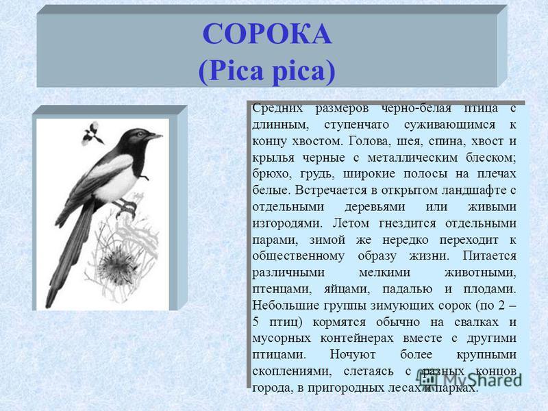 СОРОКА (Pica pica) Средних размеров черно-белая птица с длинным, ступенчато суживающимся к концу хвостом. Голова, шея, спина, хвост и крылья черные с металлическим блеском; брюхо, грудь, широкие полосы на плечах белые. Встречается в открытом ландшафт