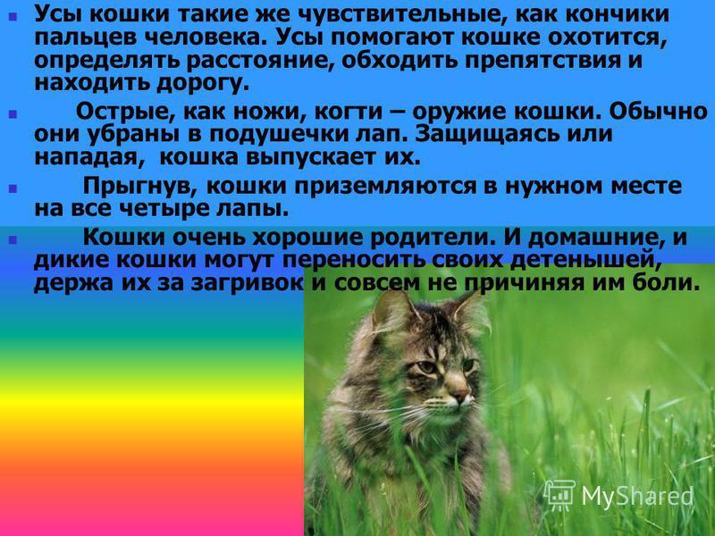 Усы кошки такие же чувствительные, как кончики пальцев человека. Усы помогают кошке охотится, определять расстояние, обходить препятствия и находить дорогу. Острые, как ножи, когти – оружие кошки. Обычно они убраны в подушечки лап. Защищаясь или напа
