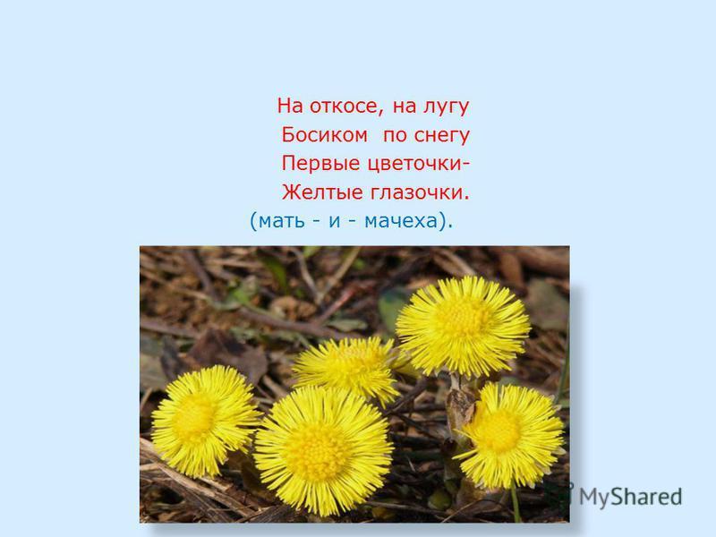 На откосе, на лугу Босиком по снегу Первые цветочки- Желтые глазочки. (мать - и - мачеха).