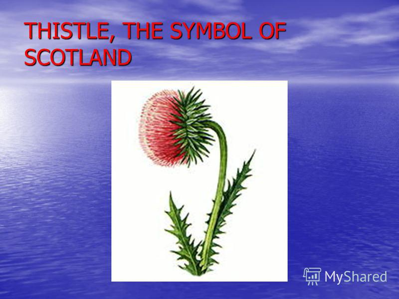 THISTLE, THE SYMBOL OF SCOTLAND