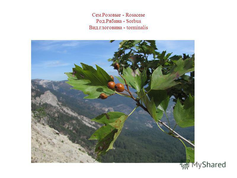 Сем.Розовые - Rosaceae Род.Рябина - Sorbus Вид.головина - torminalis