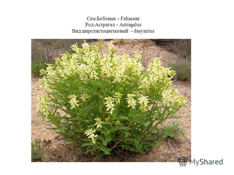 Сем.Бобовые - Fabaceae Род.Астрагал - Astragalus Вид.шерстистоцветковый - dasyantus