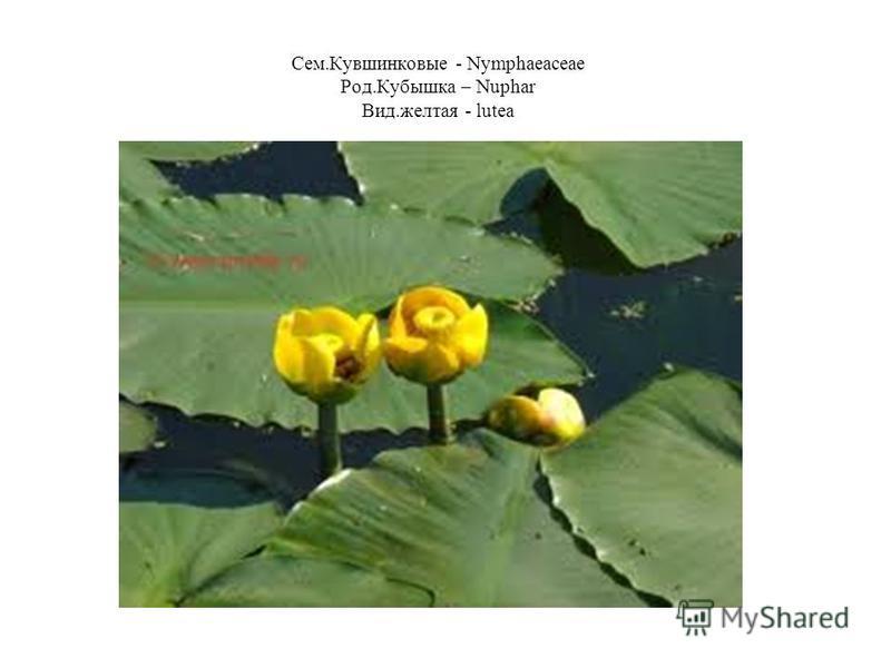 Сем.Кувшинковые - Nymphaeaceae Род.Кубышка – Nuphar Вид.желтая - lutea
