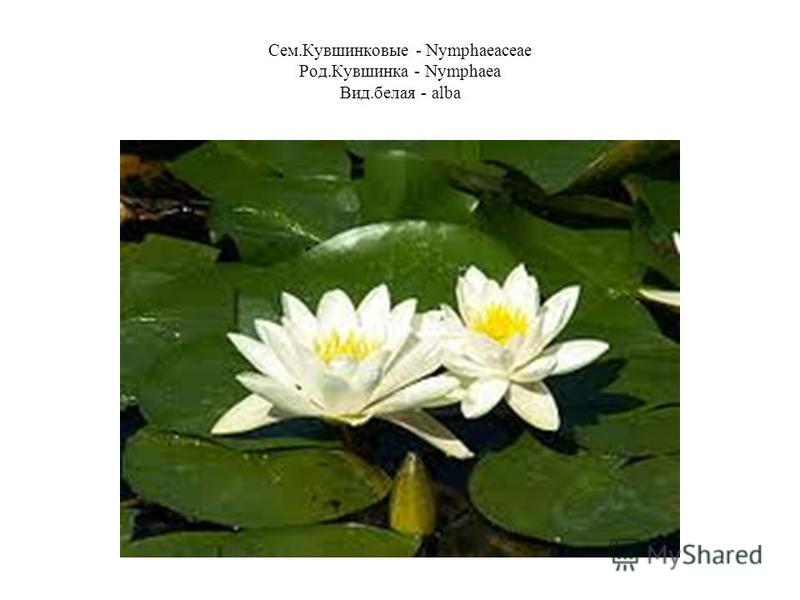 Сем.Кувшинковые - Nymphaeaceae Род.Кувшинка - Nymphaea Вид.белая - alba