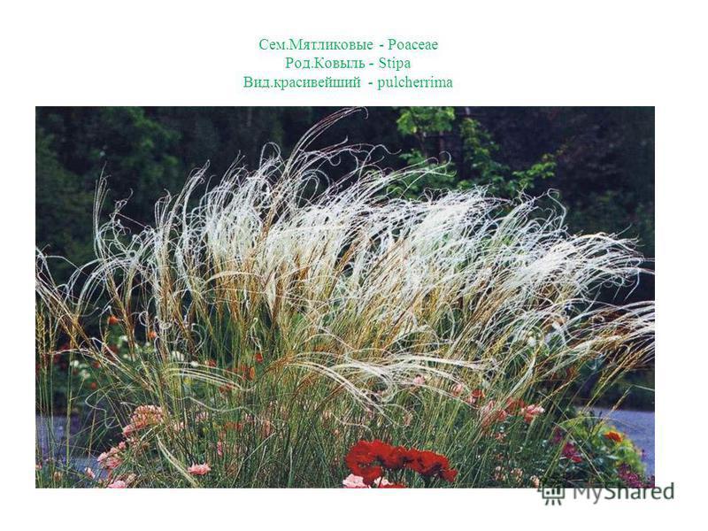 Сем.Мятликовые - Poaceae Род.Ковыль - Stipa Вид.красивейший - pulcherrima