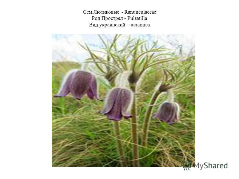 Сем.Лютиковые - Ranunculaceae Род.Прострел - Pulsatilla Вид.украинский - ucrainica