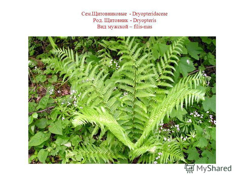 Сем.Щитовниковые - Dryopteridaceae Род. Щитовник - Dryopteris Вид мужской – filis-mas