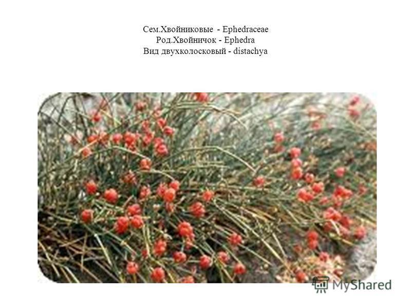 Сем.Хвойниковые - Ephedraceae Род.Хвойничок - Ephedra Вид двухколосковый - distachya