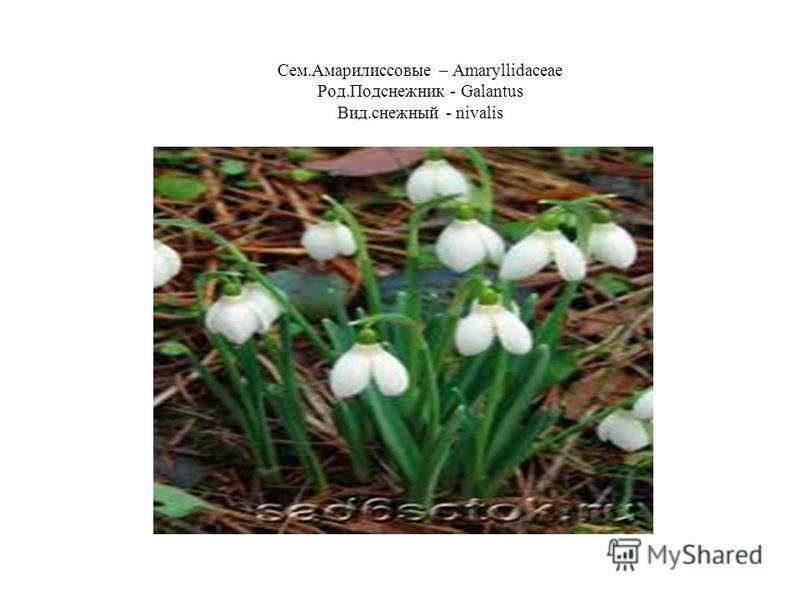 Сем.Амарилиссовые – Amaryllidaceae Род.Подснежник - Galantus Вид.снежный - nivalis