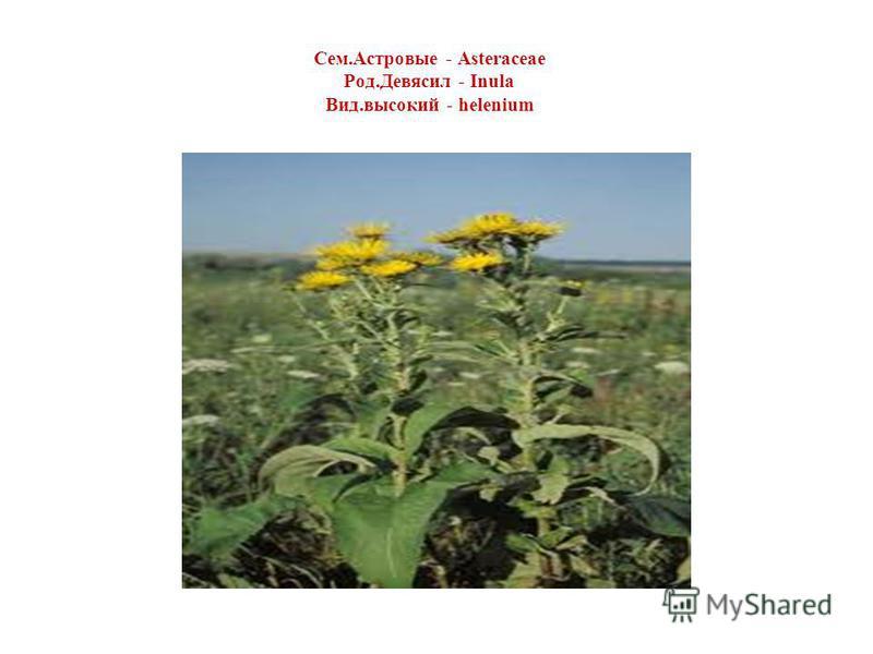 Сем.Астровые - Asteraceae Род.Девясил - Inula Вид.высокий - helenium