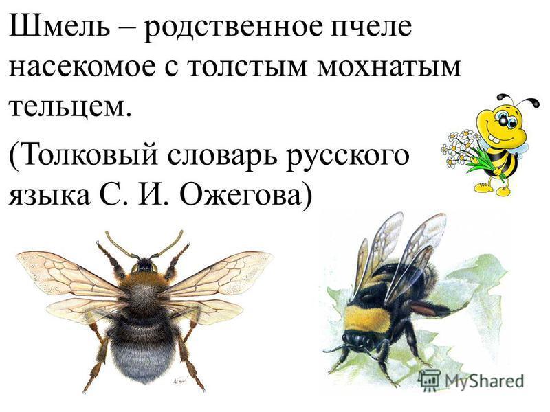 Шмель – родственное пчеле насекомое с толстым мохнатым тельцем. (Толковый словарь русского языка С. И. Ожегова)