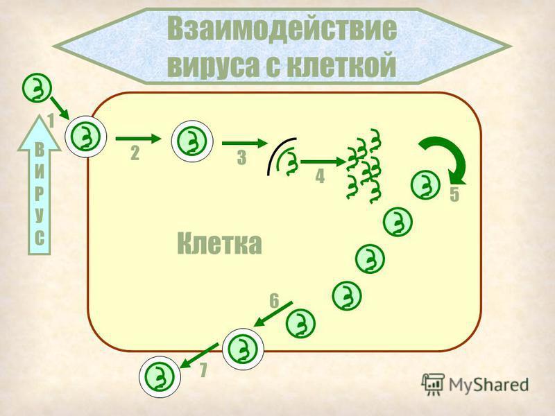 Общая характеристика вирусов 1. Не имеют клеточного строения 2. Содержат только ДНК или РНК 3. Являются внутриклеточными паразитами 4. Не способны делиться и размножаться половым путем 5. Нет обмена веществ, своих ферментов мало 6. Нет рибосом 7. Вне