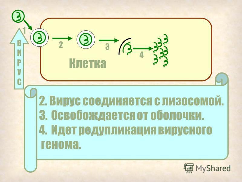 1 Клетка ВИРУСВИРУС 1. Вирус контактирует с клеточной мембраной и проникает в клетку