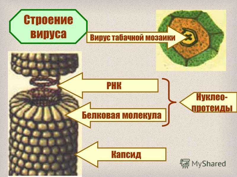 1. Потомки предъядерных цианей и бактерий, сильно упростившихся в связи с паразитизмом. 2. Древнейшие организмы Земли. 3. «Одичавшие» гены, которые эволюционировали вместе с клеточными формами жизни. Гипотезы происхождения вирусов