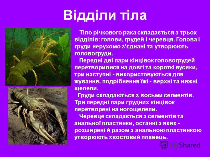 Відділи тіла Тіло річкового рака складається з трьох відділів: голови, грудей і черевця. Голова і груди нерухомо зєднані та утворюють головогруди. Передні дві пари кінцівок головогрудей перетворилися на довгі та короткі вусики, три наступні - викорис