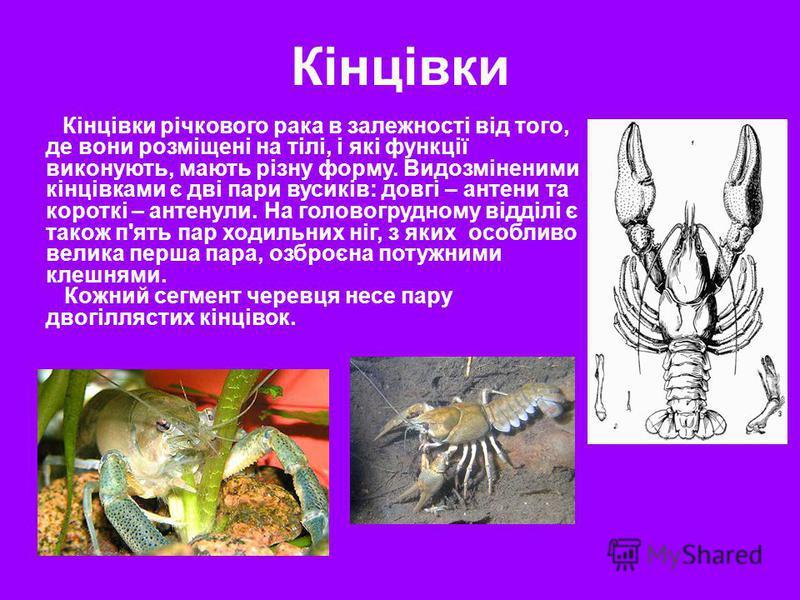 Кінцівки Кінцівки річкового рака в залежності від того, де вони розміщені на тілі, і які функції виконують, мають різну форму. Видозміненими кінцівками є дві пари вусиків: довгі – антени та короткі – антенули. На головогрудному відділі є також п'ять