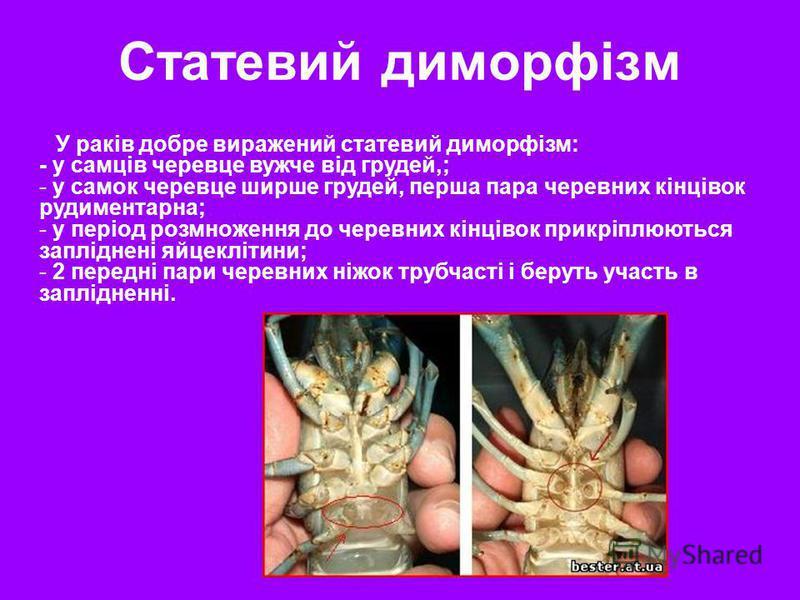 У раків добре виражений статевий диморфізм: - у самців черевце вужче від грудей,; - у самок черевце ширше грудей, перша пара черевних кінцівок рудиментарна; - у період розмноження до черевних кінцівок прикріплюються запліднені яйцеклітини; - 2 передн