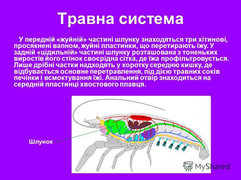 У передній «жуйній» частині шлунку знаходяться три хітинові, просякнені вапном, жуйні пластинки, що перетирають їжу. У задній «цідильній» частині шлунку розташована з тоненьких виростів його стінок своєрідна сітка, де їжа профільтровується. Лише дріб