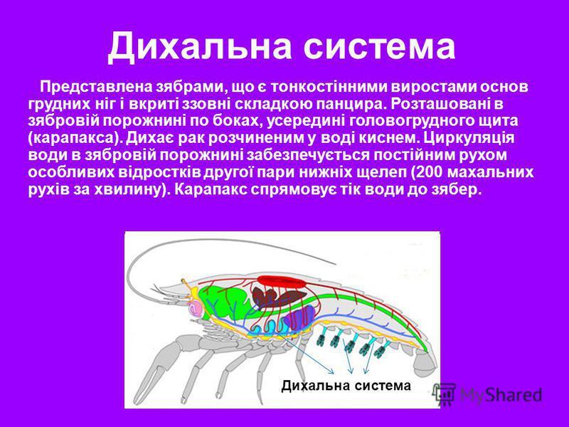 Дихальна система Представлена зябрами, що є тонкостінними виростами основ грудних ніг і вкриті ззовні складкою панцира. Розташовані в зябровій порожнині по боках, усередині головогрудного щита (карапакса). Дихає рак розчиненим у воді киснем. Циркуляц