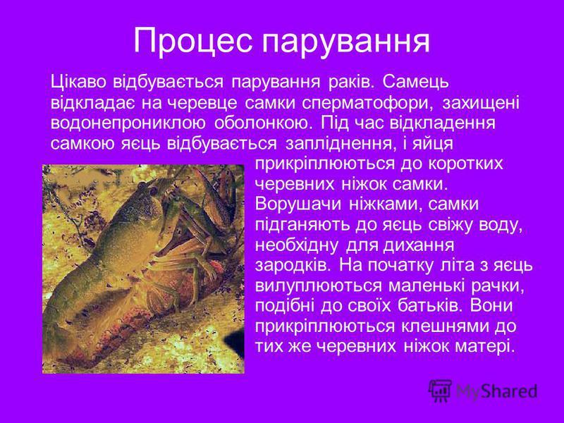 Процес парування Цікаво відбувається парування раків. Самець відкладає на черевце самки сперматофори, захищені водонепрониклою оболонкою. Під час відкладення самкою яєць відбувається запліднення, і яйця прикріплюються до коротких черевних ніжок самки
