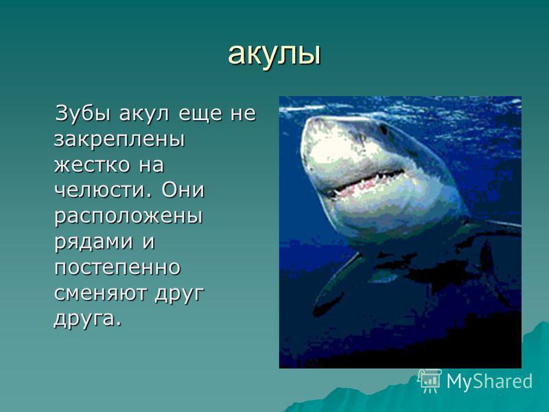акулы Зубы акул еще не закреплены жестко на челюсти. Они расположены рядами и постепенно сменяют друг друга. Зубы акул еще не закреплены жестко на челюсти. Они расположены рядами и постепенно сменяют друг друга.