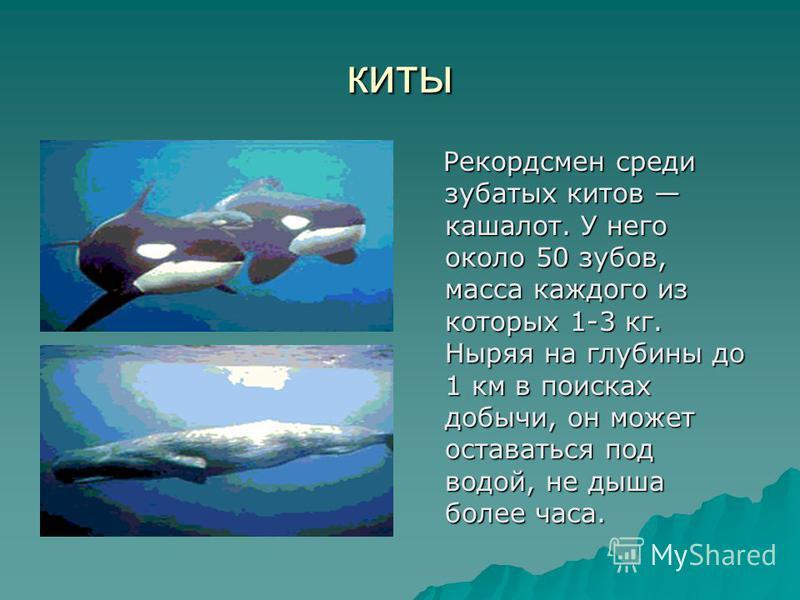киты Рекордсмен среди зубатых китов кашалот. У него около 50 зубов, масса каждого из которых 1-3 кг. Ныряя на глубины до 1 км в поисках добычи, он может оставаться под водой, не дыша более часа. Рекордсмен среди зубатых китов кашалот. У него около 50