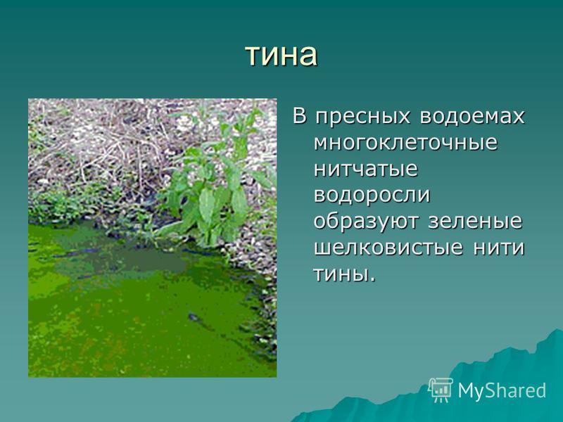 В пресных водоемах многоклеточные нитчатые водоросли образуют зеленые шелковистые нити тины. тина