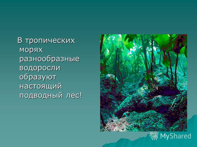 В тропических морях разнообразные водоросли образуют настоящий подводный лес! В тропических морях разнообразные водоросли образуют настоящий подводный лес!