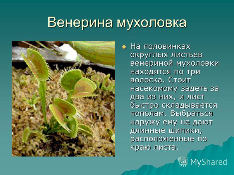 Венерина мухоловка На половинках округлых листьев венериной мухоловки находятся по три волоска. Стоит насекомому задеть за два из них, и лист быстро складывается пополам. Выбраться наружу ему не дают длинные шипики, расположенные по краю листа. На по