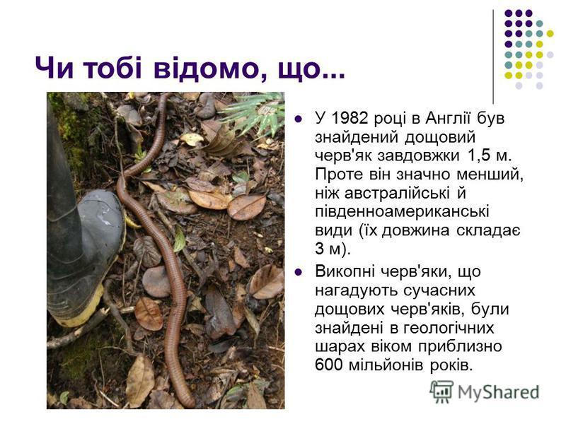 Чи тобі відомо, що... У 1982 році в Англії був знайдений дощовий черв'як завдовжки 1,5 м. Проте він значно менший, ніж австралійські й південноамериканські види (їх довжина складає 3 м). Викопні черв'яки, що нагадують сучасних дощових черв'яків, були