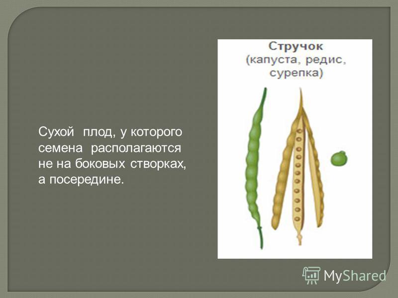 Сухой плод, у которого семена располагаются не на боковых створках, а посередине.