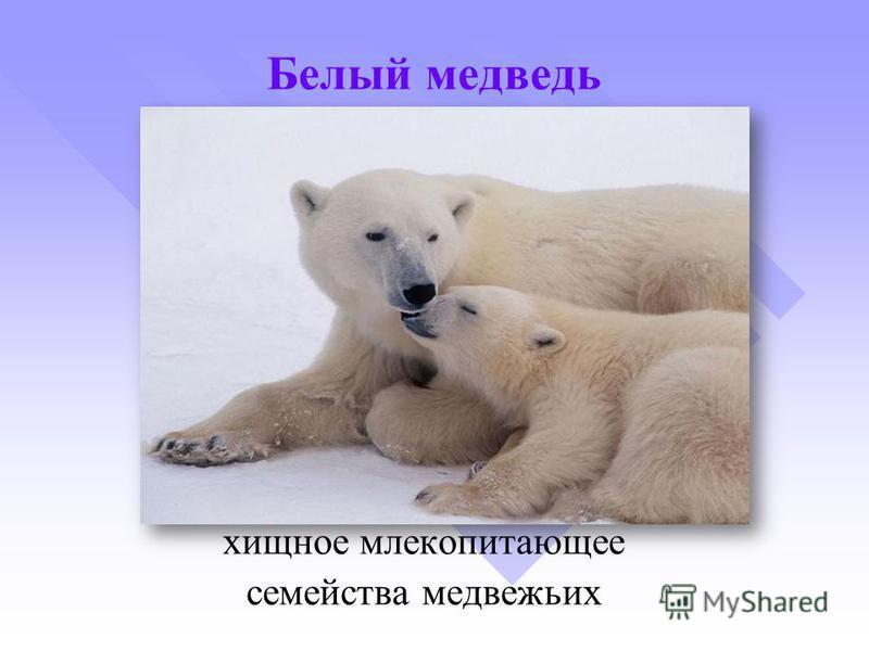 Белый медведь хищное млекопитающее семейства медвежьих