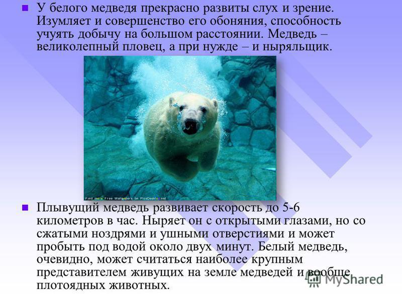 У белого медведя прекрасно развиты слух и зрение. Изумляет и совершенство его обоняния, способность учуять добычу на большом расстоянии. Медведь – великолепный пловец, а при нужде – и ныряльщик. Плывущий медведь развивает скорость до 5-6 километров в