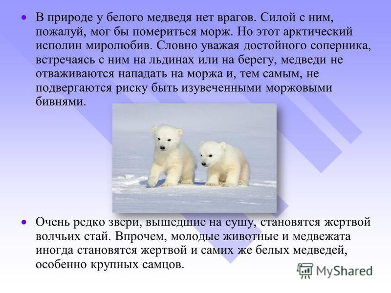 В природе у белого медведя нет врагов. Силой с ним, пожалуй, мог бы помериться морж. Но этот арктический исполин миролюбив. Словно уважая достойного соперника, встречаясь с ним на льдинах или на берегу, медведи не отваживаются нападать на моржа и, те