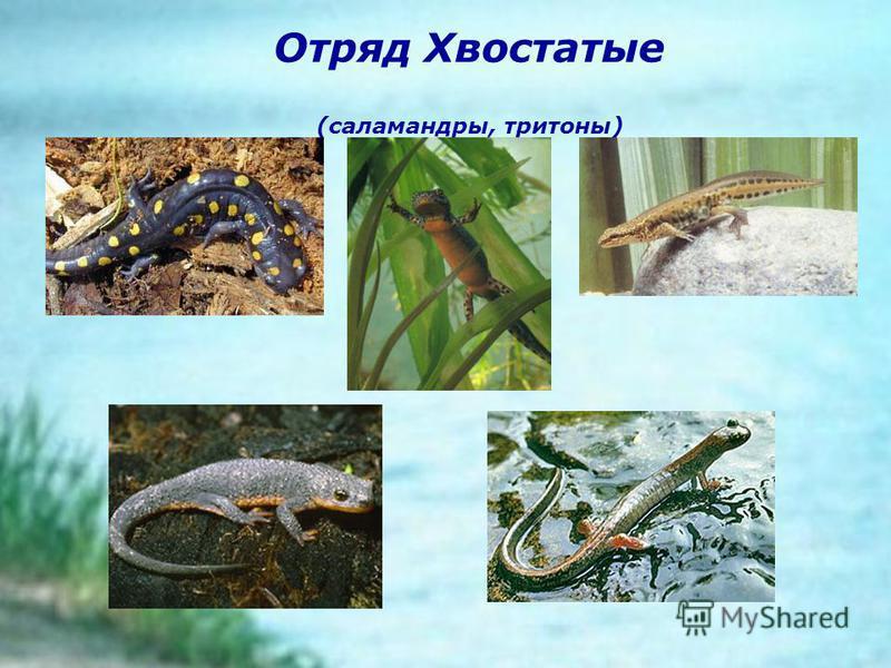 Отряд Хвостатые (саламандры, тритоны)