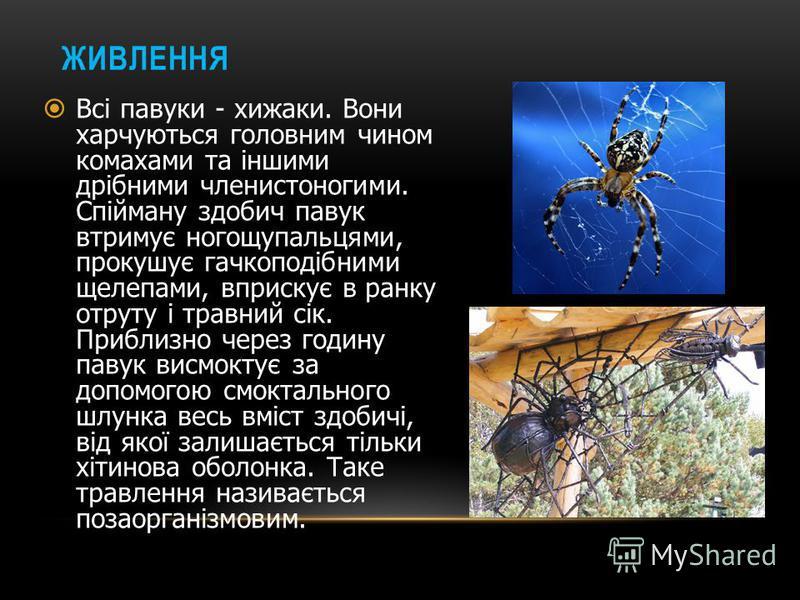 ОРГАНИ ЗОРУ Органами зору у павуків є прості очі, кількість яких може бути від 2 до 12. розміщені на головогрудному щиті. Не дивлячись на велику кількість очей, зір у павуків слабкий. У кращому випадку, вони можуть бачити предмети на відстані не біль