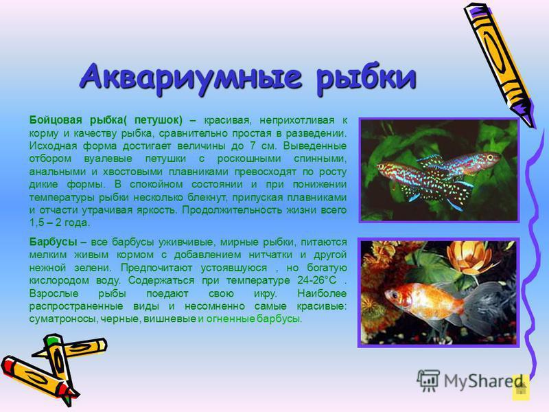 Аквариумные рыбки Бойцовая рыбка( петушок) – красивая, неприхотливая к корму и качеству рыбка, сравнительно простая в разведении. Исходная форма достигает величины до 7 см. Выведенные отбором вуалевые петушки с роскошными спинными, анальными и хвосто