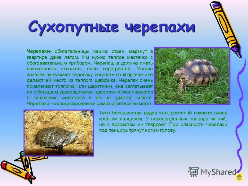 Сухопутные черепахи Черепахи- обитательницы жарких стран, мерзнут в квартире даже летом. Им нужно теплое местечко с обогревательным прибором. Черепашка должна иметь возможность отползти, если перегреется. Многие хозяева выпускают черепаху погулять по