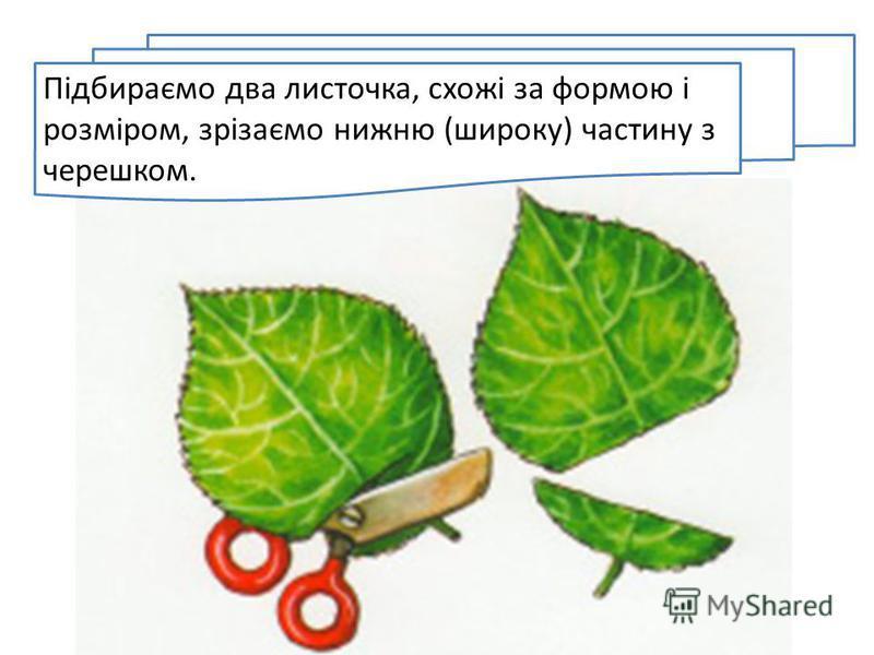 Підбираємо два листочка, схожі за формою і розміром, зрізаємо нижню (широку) частину з черешком.