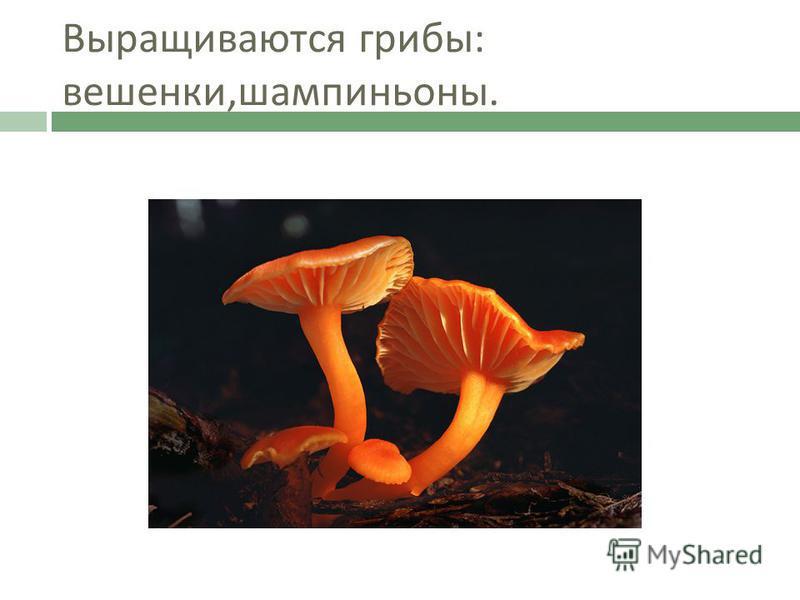 Выращиваются грибы : вешенки, шампиньоны.
