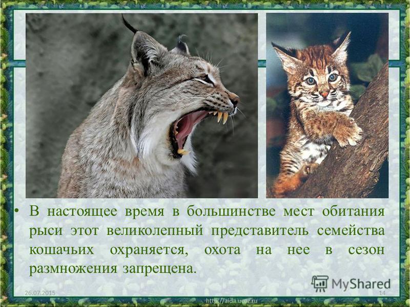 В настоящее время в большинстве мест обитания рыси этот великолепный представитель семейства кошачьих охраняется, охота на нее в сезон размножения запрещена. 26.07.201514